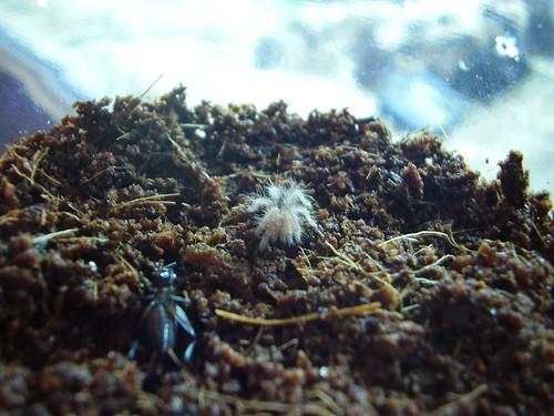 2011-08-13 G. pulchripes 01
