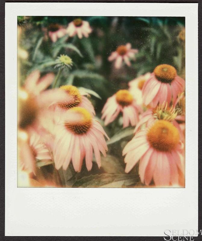 Echinacea, 7/09/11