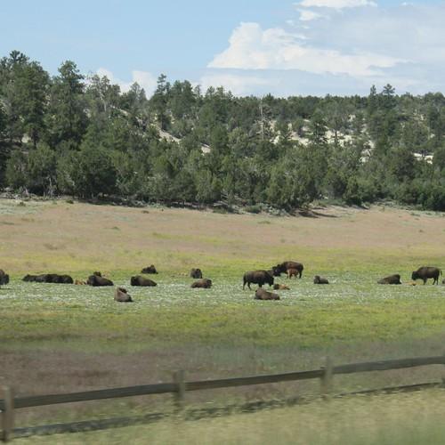 American Bison near Zion