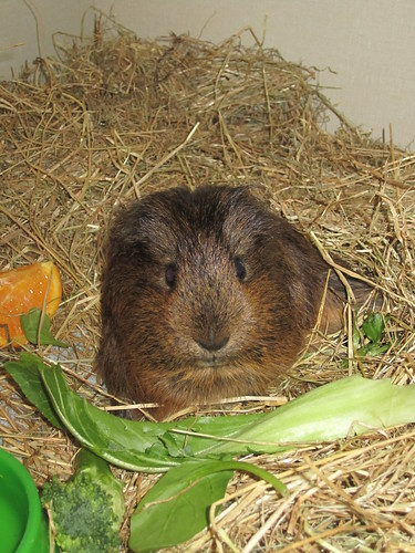 Brownie  the cutest guinae pig
