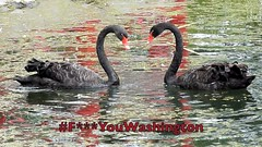 The #FuckYouWashington meme and Black Swans