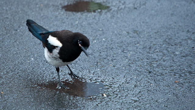 Magpie in a Puddle