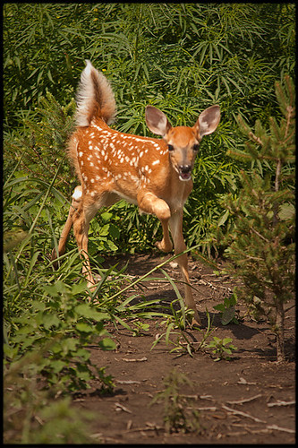 Fawn fast approaching