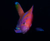 Pseudanthias pleurotaenia - stunning deep water Squarspot anthias fish by Okinawa Nature Photography
