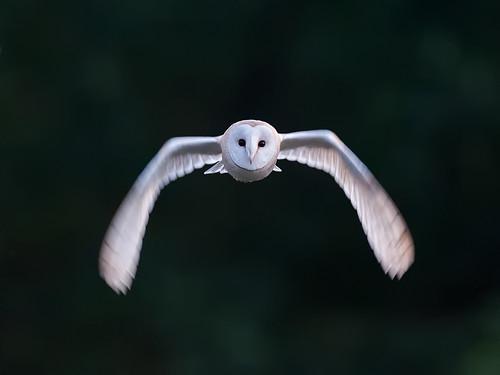 Barn Owl flight_4