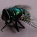Diptera (True Fly)