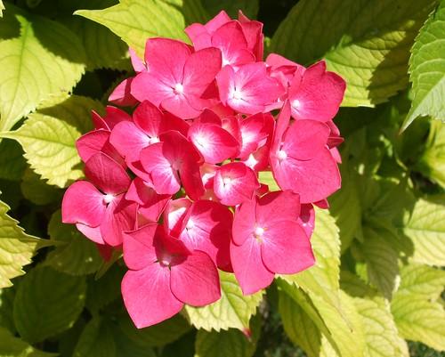 Gorgeous pink hydrangea