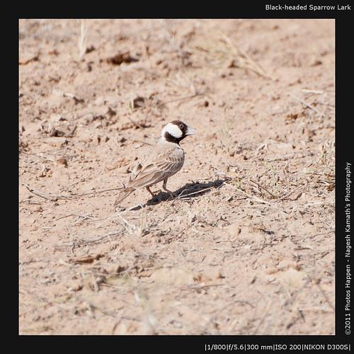 Black-headed Sparrow Lark