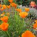 California Native Poppies @ Sunset Magazine Trial Gardens