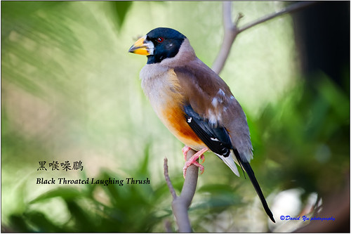 Black Throated Laughing Thrush (Garrulax Chineses) 黑喉噪鶥 by davidyuweb