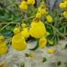 Calceolaria sp.