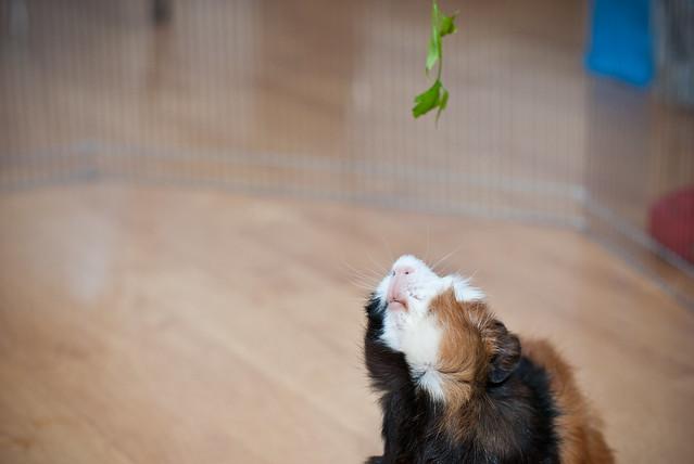 cobaya intentando alcanzar una rama de perejil