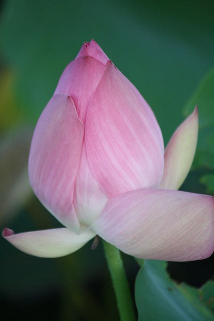 Lily pad flower bud