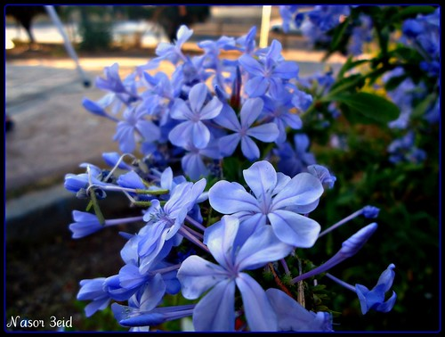 Blue Flower by Nasor 3eid