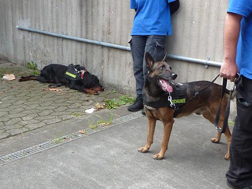 Müder Sprengstoffspürhund