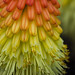 macro red hot poker flower