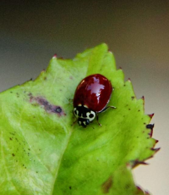 lady bug 013