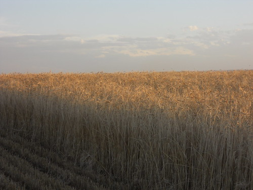 Tall wheat