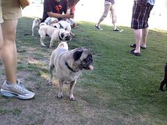 Pug meetup