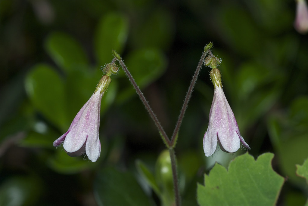 Twinflower