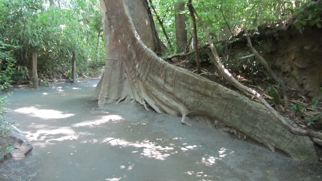 giant tree trunk.