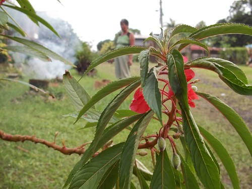red flowers of Kamantigi