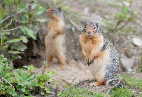 BanffSquirrels-2
