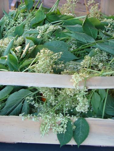 Holunderschnapps-elder flower liquor- liquore di sambuco