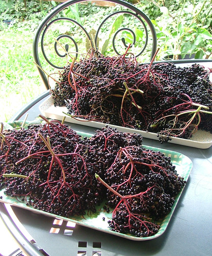 bacche di sambuco - elderberries