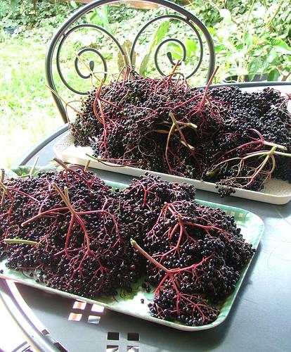 bacche di sambuco - elderberries