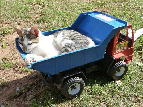 cat in toy truck