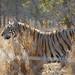Bengal Tiger (1)