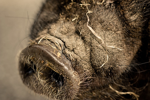 Pot-bellied-pig (just nose)