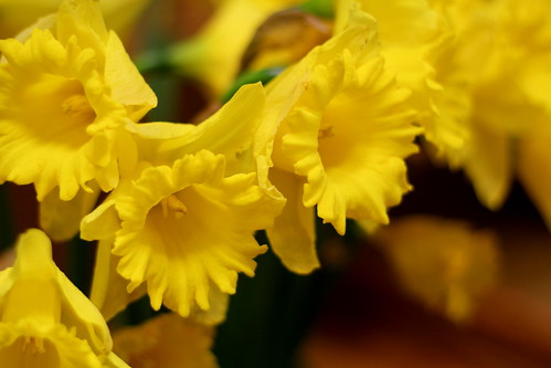 Friday: dying daffodils