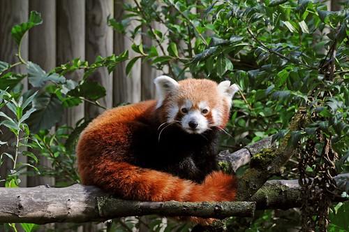 Kleiner Panda im Zoo d'Amiens