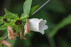 瀬上市民の森のホタルブクロ(Flower, Segami Community Woods)