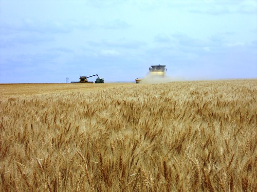 Hoxie wheat with combines