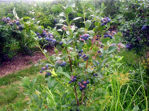 blueberry8