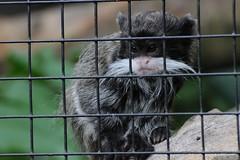 Kaiserschnurrbarttamarin im Zoo d'Amiens