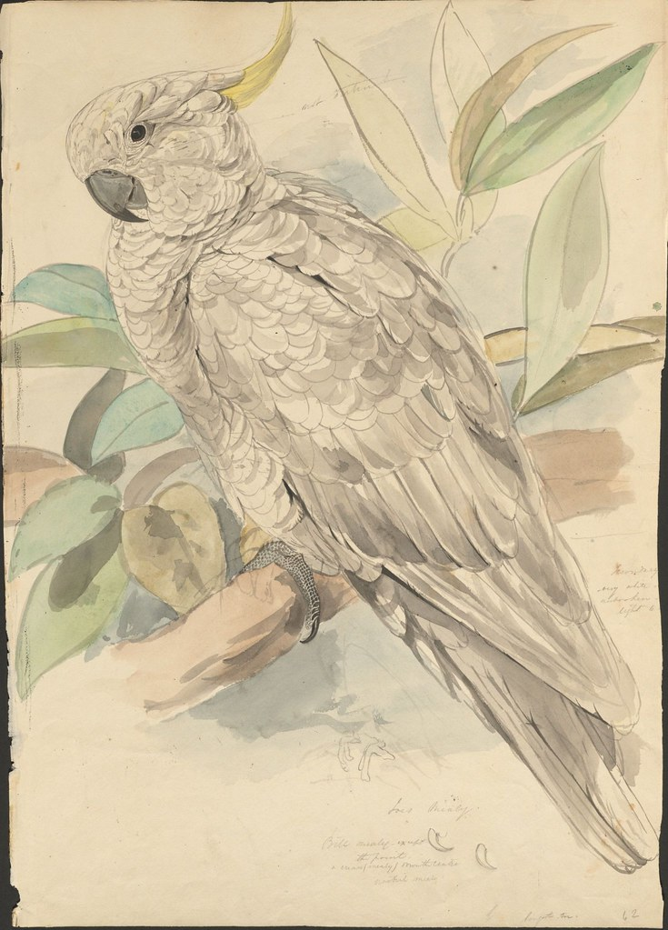 Sulphur-crested cockatoo sketch