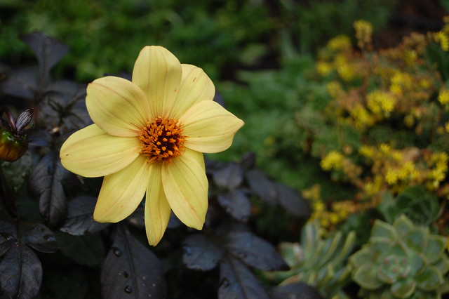 Dahlia 'Dark Side of the Sun'