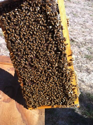DC yard bees