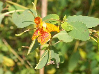 20110911_swallow_cliff_orange_jewel_weed