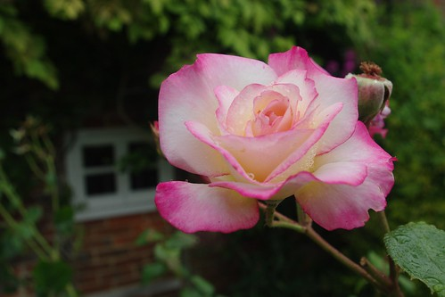 20110717-19_Pink Rose - Turville  - Chilterns by gary.hadden