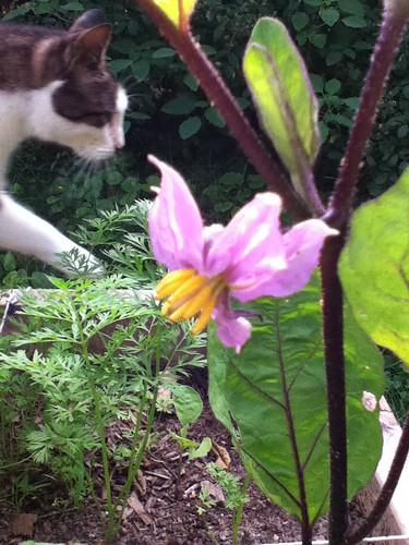 eggplant, with cat