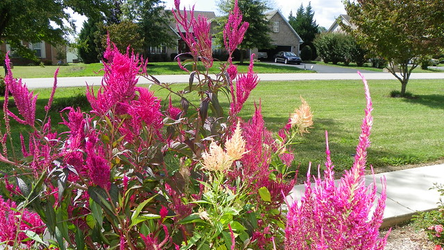 Burgundy, orange, pink Celosia
