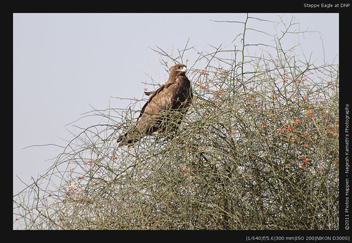 Steppe Eagle at DNP