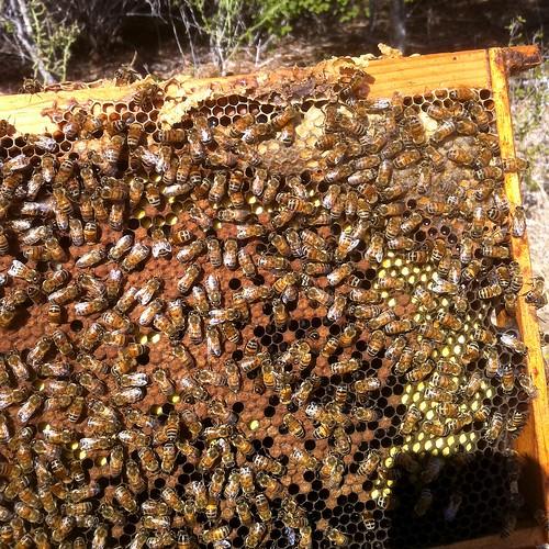 frame of bees & pollen DC Sept2011