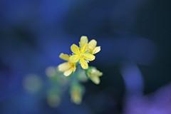 新治市民の森のキンミズヒキ(Flower, Niiharu Community Woods)