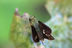 新治市民の森のイチモンジセセリ(Butterfly, Niiharu Community Woods)